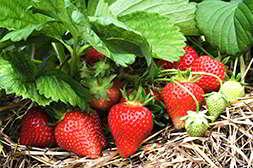 У домашней ягодницы приемлемая цена