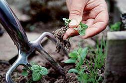Биогард эффективен против сорняков