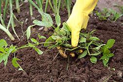 Средство Грундор уничтожает растения-вредители.